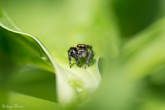 Saltique au vert (solange.denat) Tags: macro insecte nature araignée sauteuse saltique spider jump vert green
