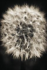 20170408 - Dandelion (JCoahgne) Tags: flower flowers garden gardens summer spring blackandwhite dandelion