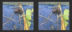Fowler's Toad Baby Nursery 2 - Parallel 3D (DarkOnus) Tags: fowlers toad baby tadpole pennsylvania bucks county huawei mate 8 3d stereogram stereography stereo darkonus closeup macro photo border animal cell phone toads bufo fowleri parallel explored explore