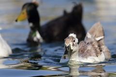 1DX10140 View Large. Domestic Crested Duck. Temecula, California (E.W. Smit Wildlife) Tags: california riversidecounty ef500mmf4lis ef500mmf4lis14x ef500mmf4lisusm ef500mmf4lisusm14x canonef500mmf4lisusm canonef500mmf4lis14x canonef500mmf4lisusm14x gimbalhead wimberley wimberleygimbalheadwh200 wimberleygimbalhead wimberleywh200 gitzo gitzotripod g1325mk2 gitzog1325mk2 gitzog1325mk2tripod aquaticbird wildanimals wildanimal tourist tourists telephotolens tripod unitedstatesofamerica usa outdoor outdoors supertelephotolens bird birds park parks animal avian animals socal canon lake nature wildlife 1dx canon1dx canonef500mmf4lis temeculariversidecalifornia temeculariverside temecula crestedduck duck domesticduck domesticcrestedduck canoneos1dx canonef14xextenderii canonef14x canonef14xextender 14x eos1dx temeculacalifornia