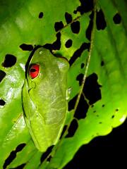 Agalychnis callidryas (Bigeyesworld.com) Tags: costarica centralamerica osa latarde wild wildlife frogs treefrogs agalychnis hylids amphibians