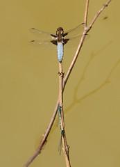 blue dragon and blue damsel (willjatkins) Tags: dragonfly damselflies dragonflies damselfly ukdragonfliesanddamselflies britishdamselflies britishdragonfliesanddamselflies britishdragonflies ukdragonflies ukdamselflies hertfordshirewildlife britishwildlife ukwildlife pondlife ukodonata britishodonata nikond7100 matingdamselflies sigma 105mm sigma105mm