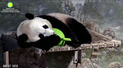 2017_06-06g (gkoo19681) Tags: beibei naptime fuzzywuzzy chubbycubby adorableears curledup jollyball toocute beingadorable sleepyhead contentment ccncby nationalzoo