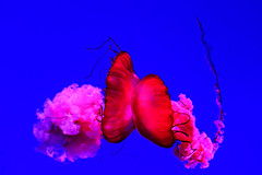 Jellyfish Kiss (manuelbund) Tags: ocean jellyfish fish soft red colour blue color sea love emotion dance