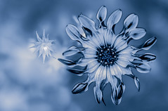Blue light (Hanna Tor) Tags: flower blue hannator light plant nature art abstract