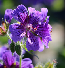 Broad-Petaled Geranium (TomIrwinDigital) Tags: rbgblooms rbg burlington ontario geranium lakinggarden