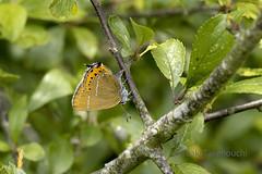 Satirium pruni リンゴシジミ (Hiro Takenouchi) Tags: butterfly butterflies england uk nature lycaenid lycaenidae hairstreak schmetterling papillon theclinae