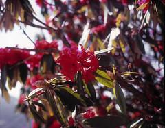 Nepalese flowers (suxarik) Tags: mamiya 645 6x45 120 645afd af sekor mamiyasekor mf medium mediumformat film expired e6 color fujifilm fuji velvia fujifilmvelvia100 rvp100 analog slide positive scanned imacon imaconflextightphoto reversal nepal trek trekking flower