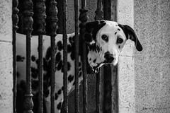 _MOD0630 (Dolchi72) Tags: melilla ventana melillalavieja perro dálmata blancoynegro