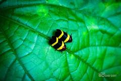(André Confort Rodrigues) Tags: verde inseto joaninha folha nature green brasil natureza amarelo macro