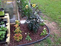 Flower Garden around Greenhouse (thesoutherngardener) Tags: dahlia mysticillusiondahlia coleus petunia flowergarden gardening greenhouselandscaping