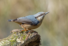 DSC7145  Nuthatch.. (jefflack Wildlife&Nature) Tags: nuthatch nuthatches birds avian animal wildlife wildbirds woodlands forest hedgerows gardenbirds songbirds countryside nature