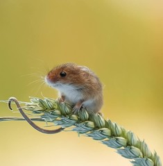 Winston - Harvest Mouse (Nigey2) Tags: