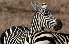 Is That a Smile? (The Spirit of the World) Tags: zebra portrait wildlife nature nairobi nairobinationalpark kenya eastafrica africa safari gamedrive gamereserve nationalpark stripes