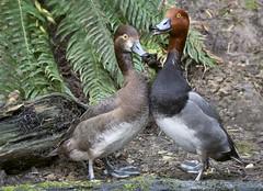 Redhead Duck Mates (kpgoldman.nature) Tags: ducks birds waterfowl pond redhead redheads redheadpair oregon 2017 april mating d500 kengoldman