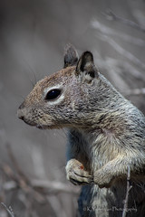 California Ground Squirrel (K.Yemenjian Photography) Tags: southerncalifornia california sandiego squirrel groundsquirrel animalplanet natural beautyofnature canont5i telephotolens details depthoffield pose posing