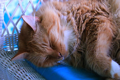Sleeping beauty (alideniese) Tags: closeup cat puss animal fauna gingercat sleepingcat sleep 7dwf bokeh focus alideniese fluffy portrait animalportrait