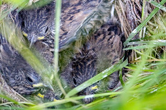 Towhee Nest (Warp Factor) Tags: canonefs55250 canonsl1 nesting spring2017 towhee babies birds nests