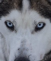 The eyes have it (rhianwhit) Tags: eyes husky dog finland winter cold snow ice north