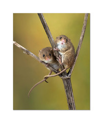 Just the two of us (hehaden) Tags: rodent mouse harvestmouse micromysminutus two captivelight bournemouth
