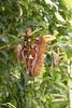 _DSC5017_DxO (Alexandre Dolique) Tags: d810 nikon noirmoutier ascension 2017 papillon île butterfly attacus monstre monster