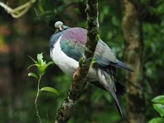 Kereru - big wood pigeon (digitaltrails) Tags: kereru woodpigeon hemiphaganovaeseelandiae zealandia