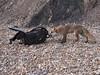 Fox & Bag (omarkhyam600) Tags: shingle beach coast england nikond750 nikkor70300mmvr fox camerabag animal wildlife