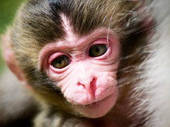 Japanese Macaque (louise.helen) Tags: japanesemacaque snowmonkey highlandwildlifepark hwp baby highlands scotland