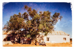 Pepper Tree On A Windy Day (Daniela 59) Tags: tree house old oldhouse farmhouse building rural kamieskroon northerncape southafrica 100x2017 100xthe2017edition image52100 theworldaroundme sliderssunday hss textures peruvianpeppertree schinusmolle danielaruppel
