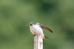 DSC_0260.jpg (ldjaffe) Tags: violetgreenswallow ucsantacruz greatmeadow