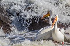 Nestor Falls (She Likes Odd) Tags: nestorfalls northwesternontario falls pelicans canonphotography canoneos60d canon60d lakeofthewoods ontario sabaskongbay siouxnarrowsnestorfalls narrows