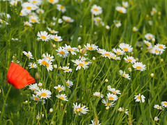 Wiosna Frühling Spring 2017 (arjuna_zbycho) Tags: wiosna frühling spring badenbeiwien kurstadt luftkurort austria stadt city miasto thermenregion biosphaerenparkniederösterreich österreich rakousko wienerwald doblhoffpark rosengarten flussschwechat rzekaschwechat undinebrunnen badenerkurpark mak maki makpolny czerwonemaki kwiatypolne mohn mohnblumen coquelicots pavots popyflower popy klatschmohn papaverrhoeas mohnblume klatschrose cornpoppy cornrose fieldpoppy flanderspoppy redpoppy redweed közönségespipacs vetésipipacs papaverocomune rosolaccio gatunekleczniczy heilpflanze hausmittel kwiat blume flower fleur popies fleurs natur flora rumianek chamomilla anthemideae matricariachamomilla echtekamille artemisiaalba blumen nature makrofoto rumianekpospolity chamomillarecutita