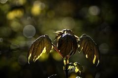 *** (pszcz9) Tags: przyroda nature natura zbliżenie closeup leaf liść bokeh wiosna spring beautifulearth sony a77 klon maple