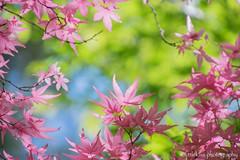 Spring Momiji (littlekiss☆) Tags: spring momiji maple pink sunshine leaves mapleleaves vancouver vandusenbotanicalgarden littlekissphotography