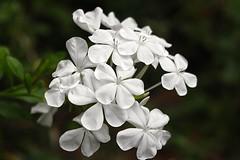 white plumbago (jill.brubaker) Tags: plumbago plumbagoauriculata leadwort