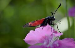 Zygène de la spirée (Doriane Boilly Photographie Nature) Tags: zygène de la spirée papillon d ejour prairie champs nature prxi détails