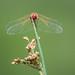Eye in Eye with a Dragonfly