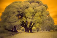 Tree magic (MarxschisM) Tags: ir infrared park trees tree latvia riga long exposure