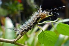 Garden discoveries (alestaleiro) Tags: caterpiller caterpillar poisoness poisonous gusano macrophotography insect nature alestaleiro