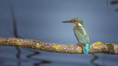 Irridescent (Osgoldcross Photography) Tags: kingfisher female femalekingfisher feathers plumage detail head beak wings orange cyan azure cobalt perch perched branch water summer latesummer nilon nikond7100 raw rspb rspboldmoor nature naturalhistory
