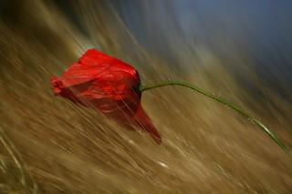 Poppy flower in grain field #5