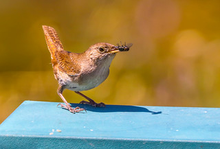 Come fly with me.....House Wren with fly White Point Reserve Palos Verdes Peninsula California  238