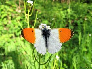 Butterfly 1318