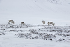 Svalbard Reindeer at Sassendalen S24A8625 (grebberg) Tags: snowmobile tour longyearbyen mohnbukta spitsbergen svalbard april 2017 snow sassendalen rangifertarandusplatyrhynchus rangifer rangifertarandus reindeer mammal svalbardreindeer