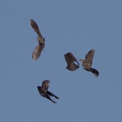 rwbl-f-sy-m-easterncimarronco-6-10-17-tl-01-cropscreen (pomarinejaeger) Tags: keyes oklahoma unitedstates bird redwingedblackbird agelaiusphoeniceus