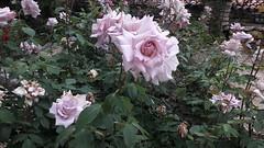 Балчик, България (Véronique3) Tags: bulgaria bulgarie balcic baltchik balchik roses балчик българия