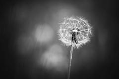 fragile (christian mu) Tags: dandelion bw monochrome flowers nature christianmu sonya7ii 90mm macro 9028 sony 9028g münster muenster botanicalgarden botanischergarten spring