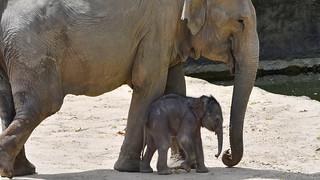 Babyfant Kitai