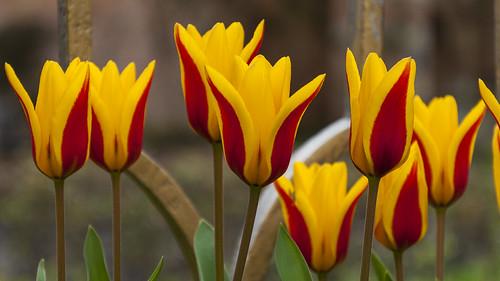 Tulips - Hever Castle Gardens