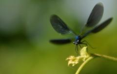 la danza... (andrea.zanaboni) Tags: ballo danza dance libellula dragonfly nikon macro volo fly insetti insects